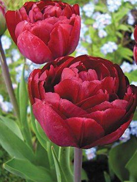 Тюльпаны Махровые поздние Uncle Tom 1011 (3 шт)