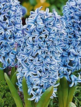 Гіацинт садовий Blue Star 1516 (100 шт)