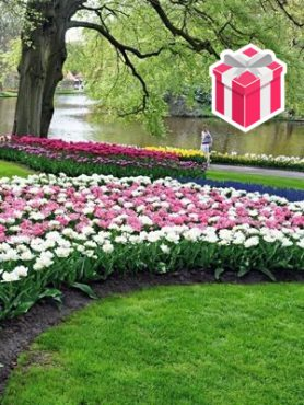 """Набор """"Парк Кекенхоф"""" мини (55 шт) +Тюльпаны махровые поздние «Double Arosa» (3 шт.)"""