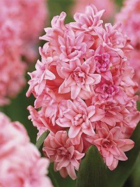 Гіацинт садовий Spring Beauty 1415 (100 шт)