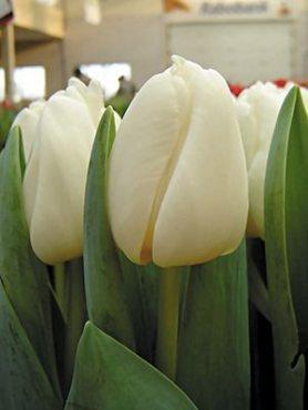 Тюльпаны Триумф Antarctica 1112 (20 шт)