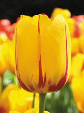 Тюльпаны Простые поздние La Courtine 1112 (3 шт)