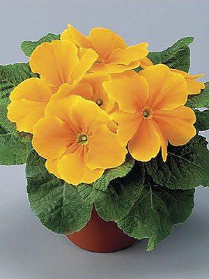 Примула обыкновенная El Unistar Orange F1 (3 шт) - 1