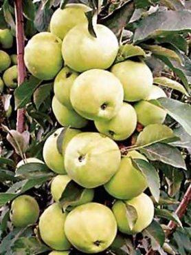 Яблоня колоновидная Медок (1 шт)