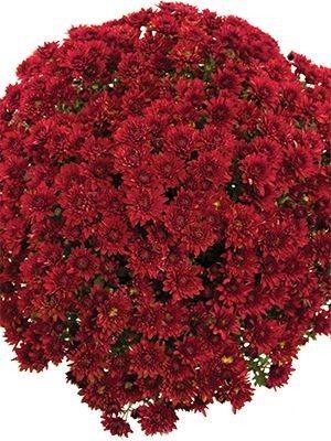 Хризантема мелкоцветковая низкорослая Branopal Red (9 шт) - 1