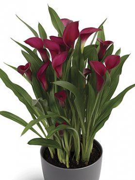 Калла Callafornia Red 1416 (1 шт)