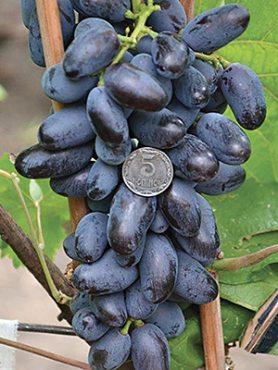 Виноград Ромбик(1 шт)