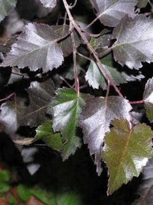 Береза повислая Purpurea (1 шт) - 1