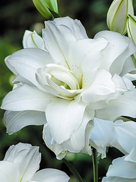 Лілія (Східні гібриди) Lotus Pure 12/14 (100 шт)