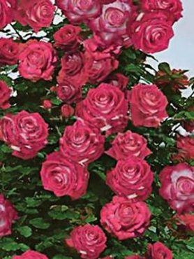 Роза в'юнка Belfast (1 шт)