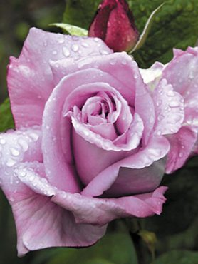 Роза в'юнка Blue Moon Climbing (1 шт)