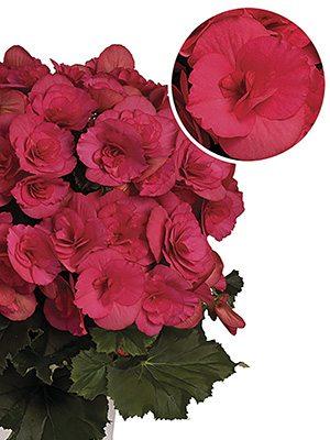 Бегонія красивоцветущая Barcos Bela Lilacpink (1шт) - 1