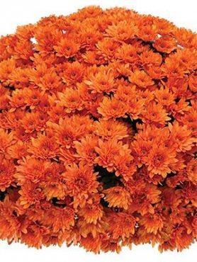 Хризантема мелкоцветковая низкорослая Branopal Orange (9 шт)