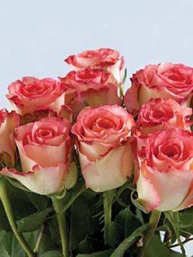 Роза чайно-гибридная Duett (1 шт)