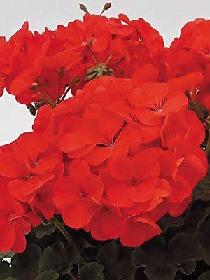 Пеларгонія зональна Red (6 шт) - 1