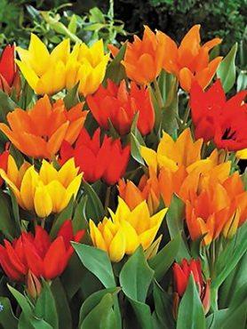 Тюльпани Багатоквіткові, суміш 1112 (10 шт)