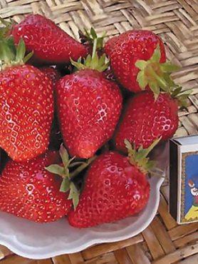 Суниця великоплідна (полуниця) Albа (5 шт)