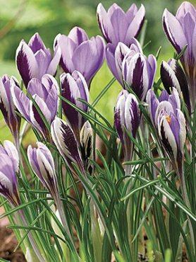 Крокус Зибера Spring Beauty 5+ (100 шт)