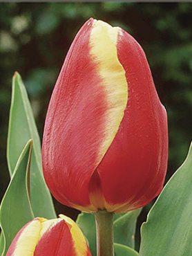 Тюльпаны Триумф Jan Seignette 12+ (20 шт)