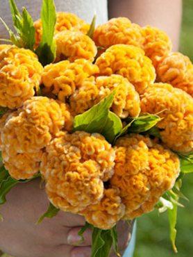 Целозия гребешковая, золотисто-желтая (15 шт)