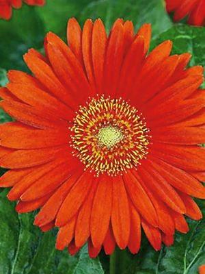Гербера гибридная (садовая) Garvinea Sweet Glow (1 шт) - 1