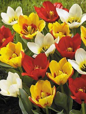 Тюльпаны Кауфмана, смесь 1011 (10 шт)