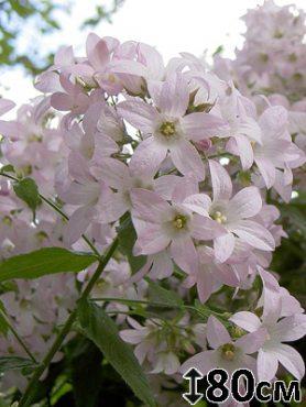 Колокольчик молочноцветковый Loddon Anna (1 шт)