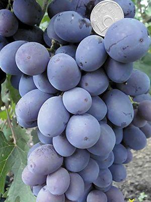 Виноград Фуршетный (1 шт) - 1