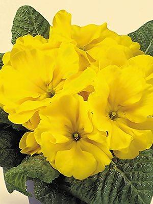 Примула Fruelo Yellow-Lemon F1 (3 шт) - 1