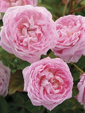 Роза шраб Queen Anne (1 шт)