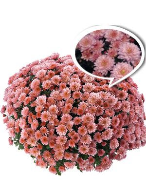 Хризантема дрібноквіткова низькоросла Moviestars Stallone Pink (3 шт) - 1