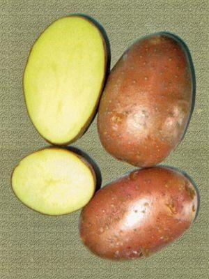 Картопля Ред Леді (5 кг) - 1