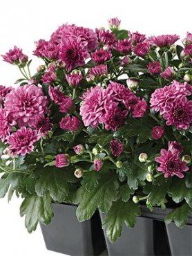 Хризантема мелкоцветковая низкорослая Baby Mum Pink (3 шт)