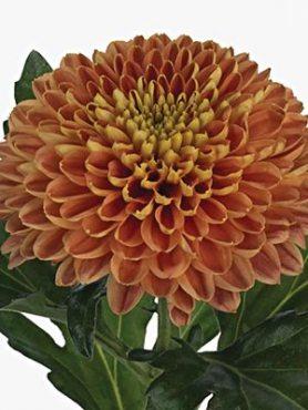 Хризантема срезочная Bislet Red (3 шт)