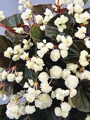 Бегония вечноцветущая Doublet White (1 шт) - 1