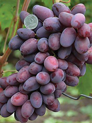 Виноград Эталон (1 шт) - 1