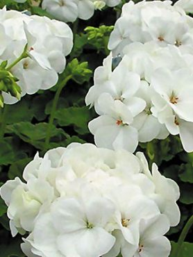Пеларгонія зональна White (6 шт)