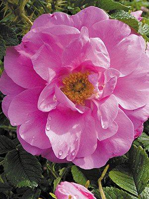Роза морщинистая Moje Hammarberg (1 шт) - 1