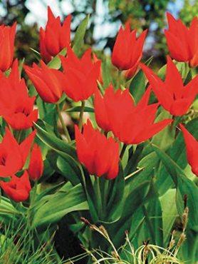 Тюльпан чудовий Zwanenburg Variety 78 (3 шт)