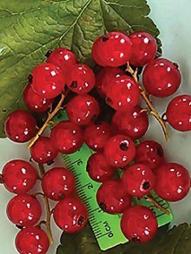 Смородина червона Рондом (1 шт)
