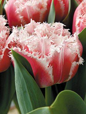 Тюльпаны Махровые бахромчатые Queensland 1011 (3 шт)
