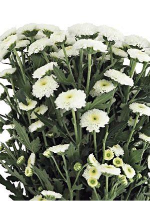 Хризантема срезочная Calimero Snow (3 шт) - 1