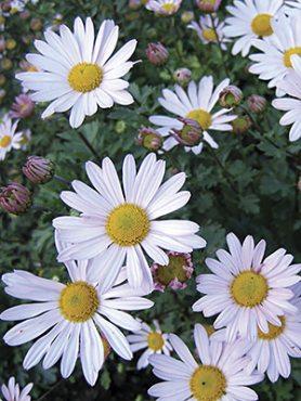 Хризантема арктическая ф. белая (1 шт)