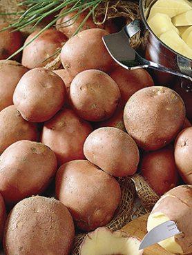 Картофель Bildtstar (30 шт)