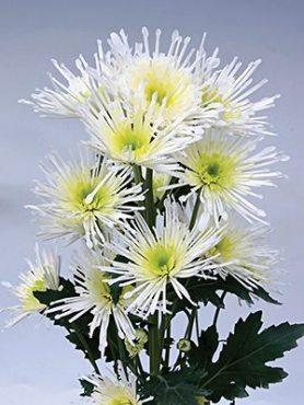 Хризантема срезочная Annecy White (3 шт)