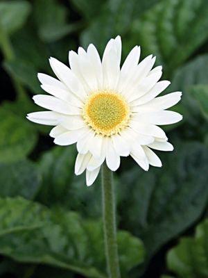 Гербера гібридна (садова) Garvinea Luna (1 шт) - 1