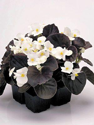 Бегонія вечноцветущая Nightlife White (10 шт) - 1