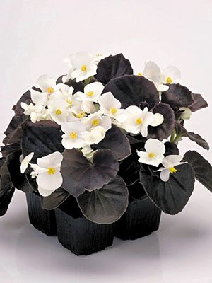 Бегония вечноцветущая Nightlife White (10 шт) - 1