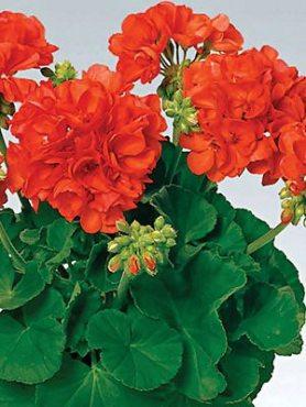 Пеларгония зональная Perlenkette Orange (1 шт)