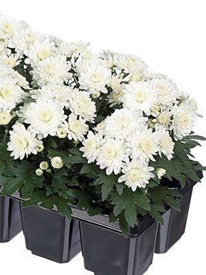 Хризантема мелкоцветковая низкорослая Baby Mum White (9 шт) - 1